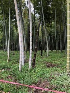 タケノコ畑