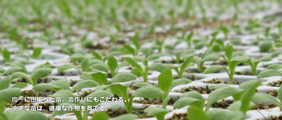 均一に出揃った苗。苗作りにもこだわる。丈夫な苗は、健康な作物を育てる。