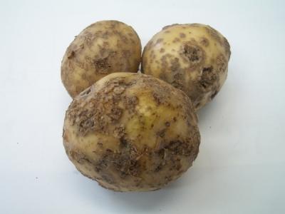 ジャガイモのそうか病 上の写真のように、表面がザラザラになる病気です。 ... じゃがいものそう
