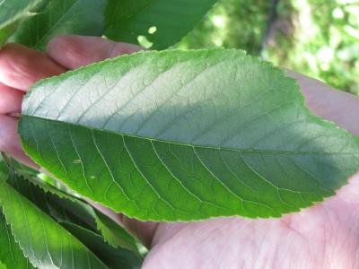 樹勢が適正な葉